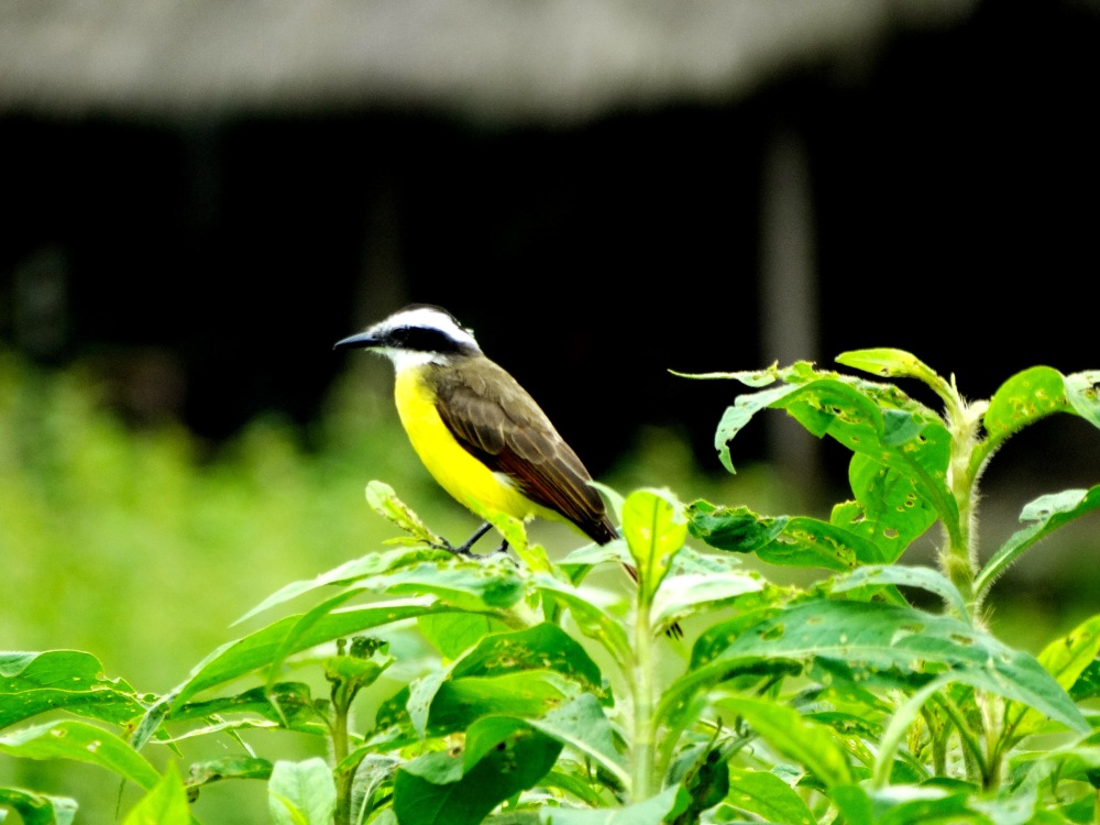 Lesser Kiskadee Large Stripe-Headed Flycather